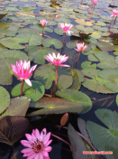 lotus lake2
